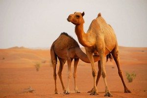 Ecotourism in the UAE dubai-desert